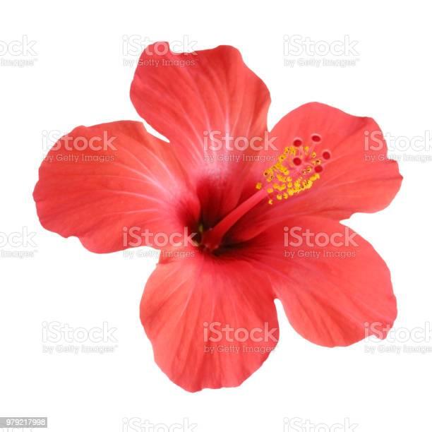 Red hibiscus flower isolated on white background picture id979217998?b=1&k=6&m=979217998&s=612x612&h=n bqvicytaqvmujalxqzlsacpzrmljr8n6ezrt6q44u=