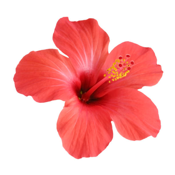 Red hibiscus flower isolated on white background picture id979217998?b=1&k=6&m=979217998&s=612x612&w=0&h=7sjr60e9joshsbd7sfljmxxfblwyl9kb8bn4coa8odc=