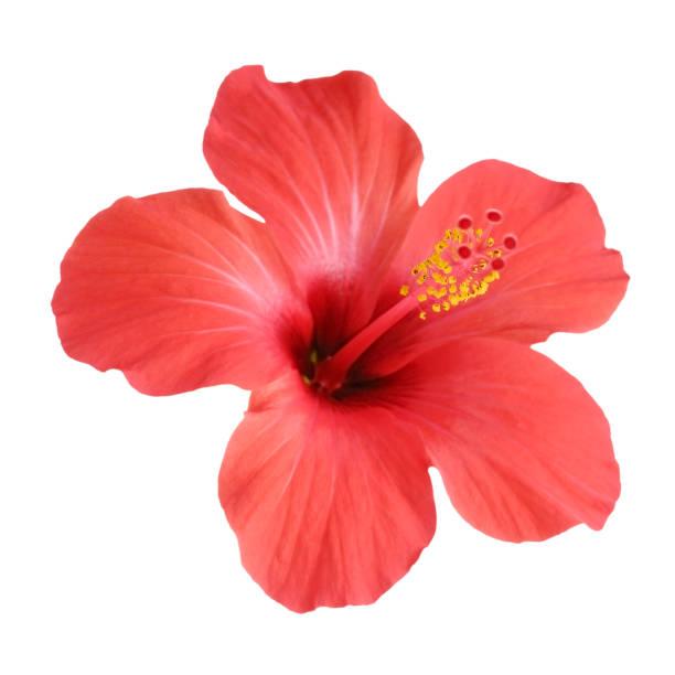 flor de hibisco vermelho, isolado no fundo branco - flor tropical - fotografias e filmes do acervo