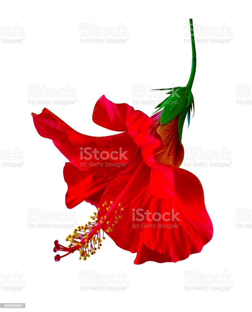 Red hibiscus flower isolated on white background stock photo more red hibiscus flower isolated on white background royalty free stock photo izmirmasajfo