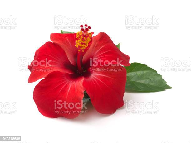 Red hibiscus flower isolated on white backgroundwith clipping picture id942518686?b=1&k=6&m=942518686&s=612x612&h=lgnagk7iwtswsuaghv nzq4zh2clzcltk5ccsdmb7cy=