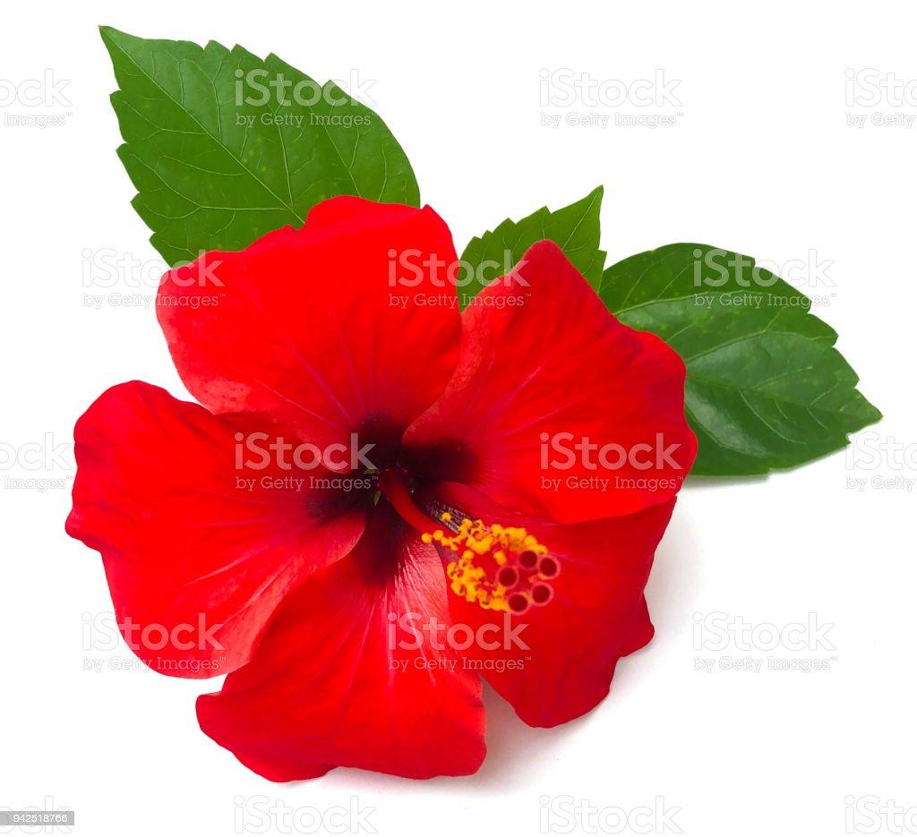 Red hibiscus flower isolated on white backgroundwith clipping red hibiscus flower isolated on white backgroundwith clipping pathmmer blossom royalty izmirmasajfo