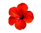red hibiscus flower isolated