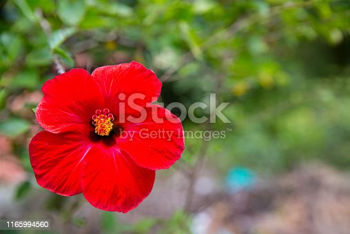 istock Red hibiscus flower on a green background. Baby hibiscus flower at Queen Sirikit Botanic Garden In the tropical garden. 1165994560