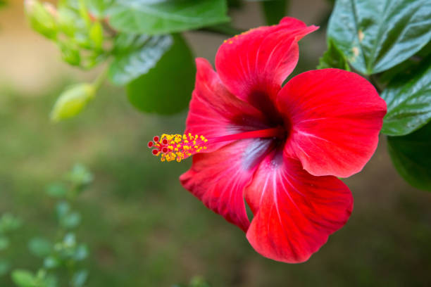 red hibiscus flower on a green background. in the tropical garden. - pacific islands stock pictures, royalty-free photos & images