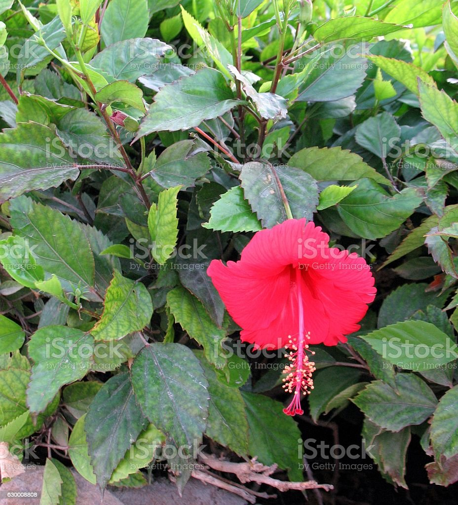 Red hibiscus flower over green blurred background stock photo more red hibiscus flower over green blurred background royalty free stock photo izmirmasajfo