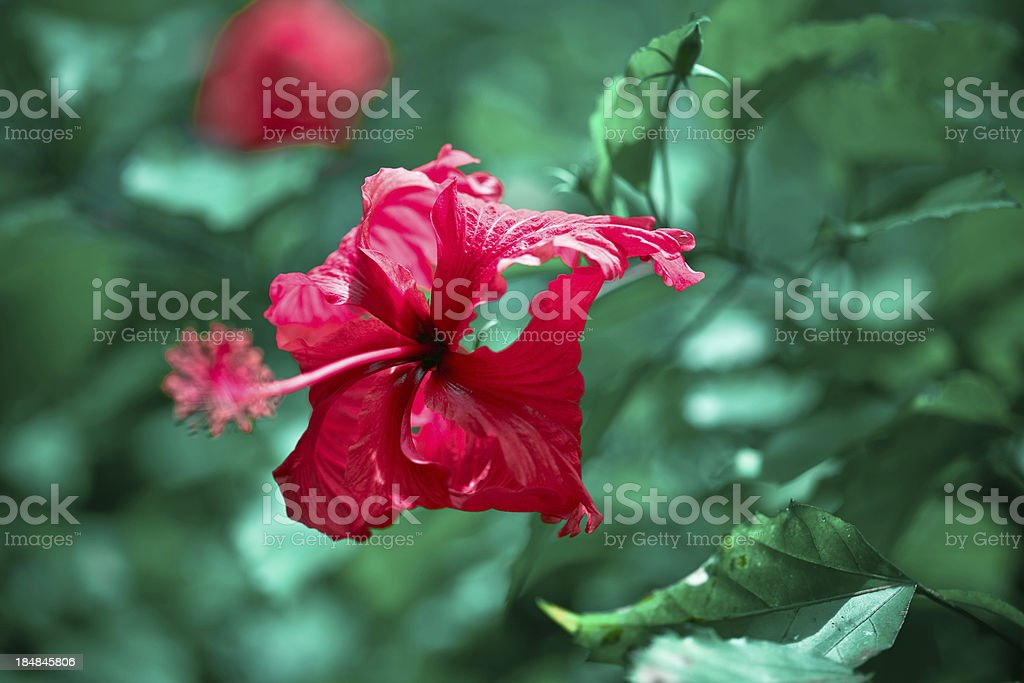 Red hibiscus flower Close-up of red hibiscus flower with green leaves in the background. Beauty In Nature Stock Photo
