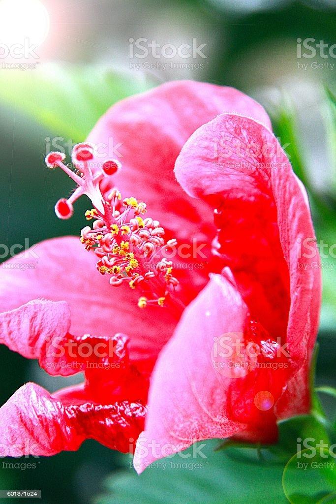 Foto De Red Hibiscus Flower With Lens Flare Effect E Mais Fotos De Stock De Aloha Palavra Havaiana Istock