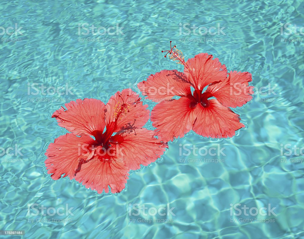 Red Hibiscus Flowers floating in a Pool (XXXL) royalty-free stock photo