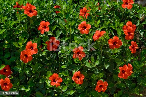 Red hibiscus flowers with green leaves during the summer