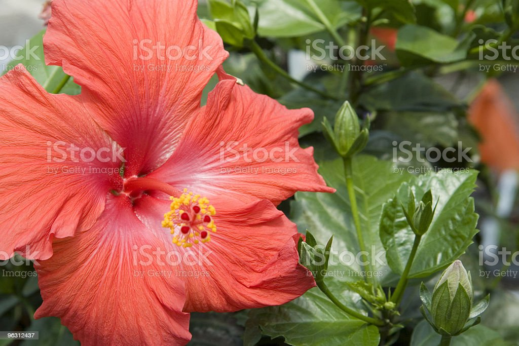 Red Hibiscus - Focus on Center royalty-free stock photo