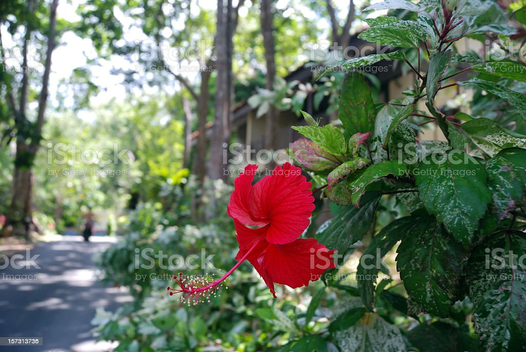 Red Hibiscus in Natural Setting royalty-free stock photo