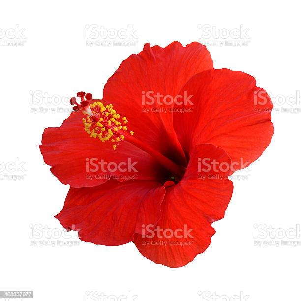 Red hibiscus on a white background picture id468337677?b=1&k=6&m=468337677&s=612x612&h=t7im4viczjmsu6deonqfh8itnziujeaa8qg77a ff8k=