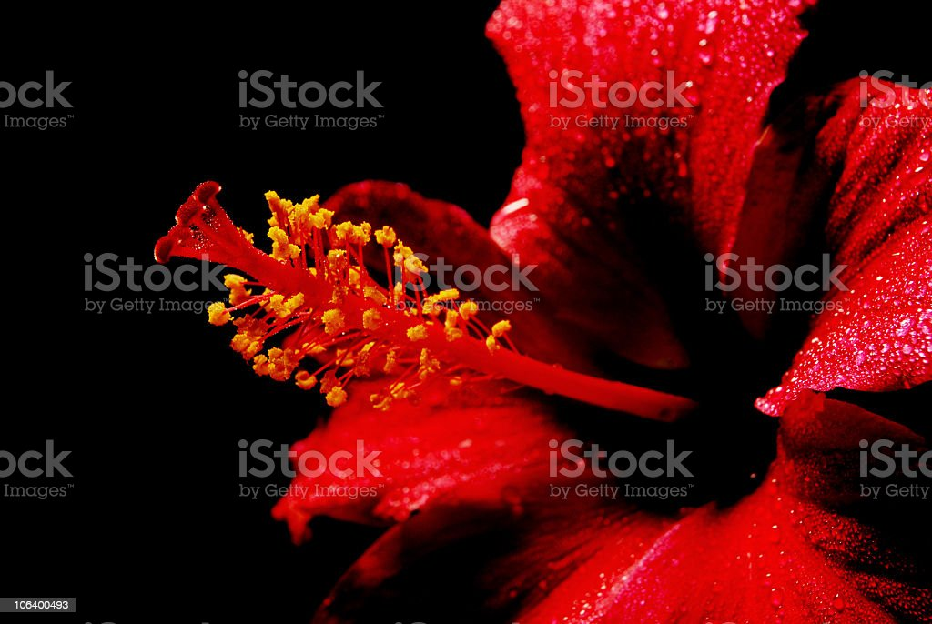 Red hibiscus on black background stock photo