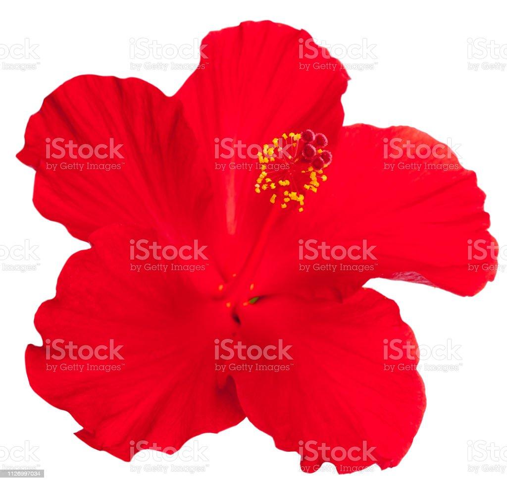roter Hibiskus auf weißem Hintergrund – Foto