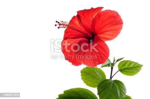 Beautiful fresh red Hibiscus with green leafs isolated by the white background.