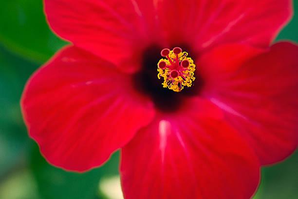 red hibiscus - byakkaya stok fotoğraflar ve resimler