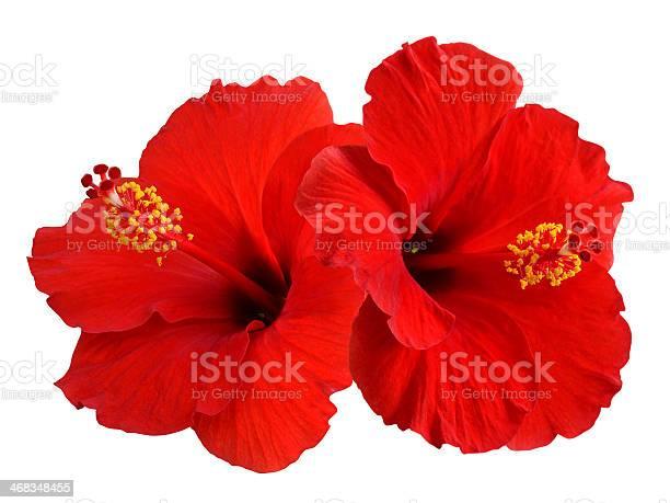 Red hibiscus picture id468348455?b=1&k=6&m=468348455&s=612x612&h=31jredz0s7banvj4vfmo3uigiolex zvdskz0vw2wo8=