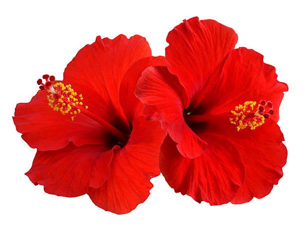 Red hibiscus picture id468348455?b=1&k=6&m=468348455&s=612x612&w=0&h=qtsshtu1qjjp7rc7ltctuscnobng2xf7larjjunv0es=