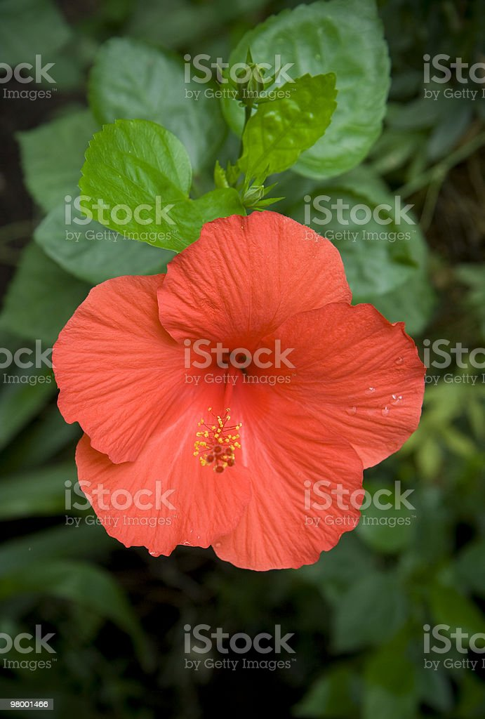 Red hibiscus royalty free stockfoto