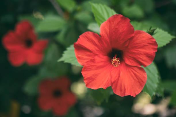 red hibiscus rosa close up - pręcik część kwiatu zdjęcia i obrazy z banku zdjęć