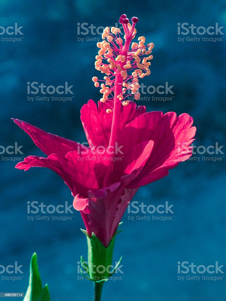 Red Hibiscus, Rosa-sinensis flower stock photo