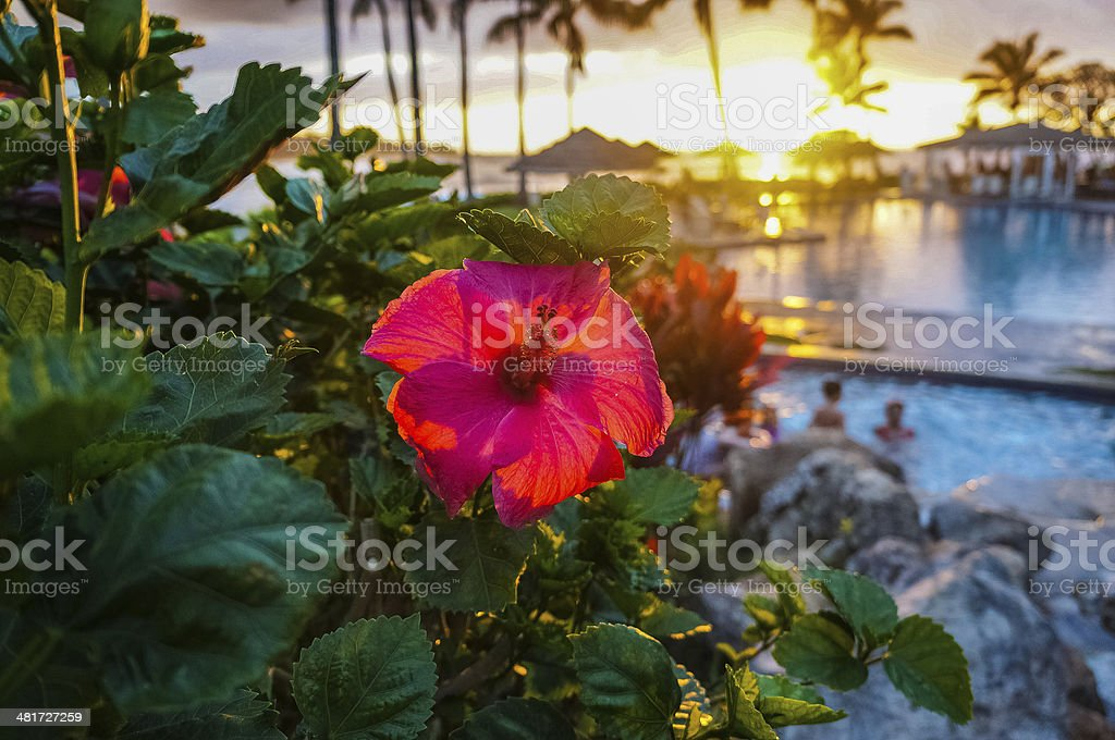 Red hibiscus with a resort in the background stock photo