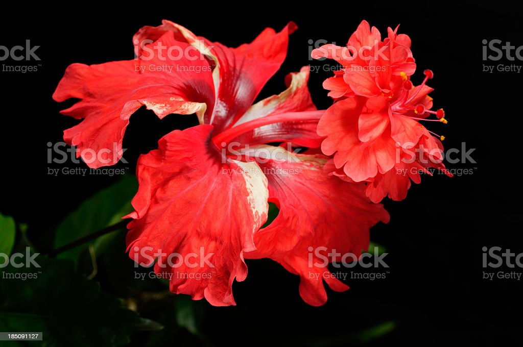 Red hibiscus with two layers of petals. stock photo