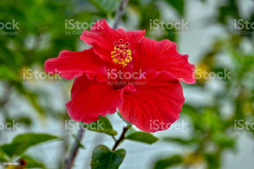 Red Hibiscus with Yellow Center stock photo