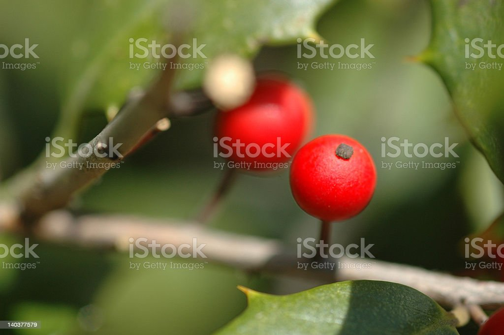 Red holly berries on green branch stock photo