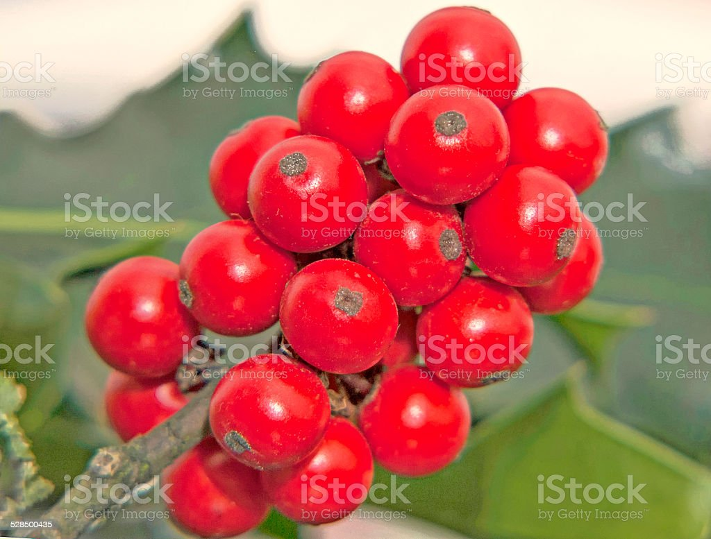 red holly berries stock photo