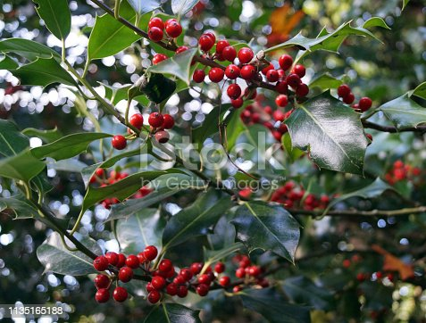 istock Red holly berries with dark green leaves - close up 1135165188