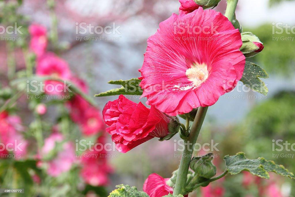 Red hollyhock flower in garden. stock photo