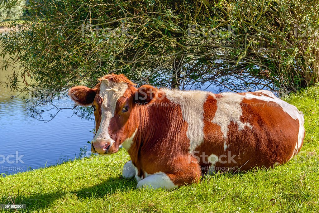 Red Holstein cow ruminates in the grass stock photo