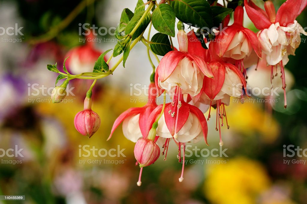 Red honeysuckle hanging from tree branch stock photo