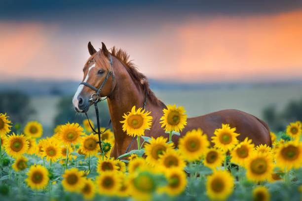 Red horse in sunflowers field picture id1076489360?b=1&k=6&m=1076489360&s=612x612&w=0&h=qmu ww0m70kgl3nklqkfjzumxj0b1gurtwm3fi ik2o=