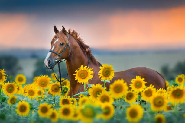red horse in sunflowers field - horse stock pictures, royalty-free photos & images