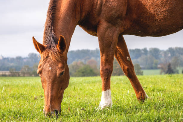 Red horse is grazing grass on pasture. stock photo