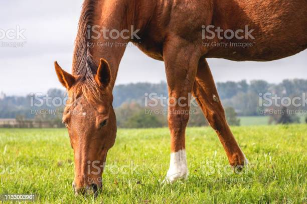 Photo of Red horse is grazing grass on pasture.