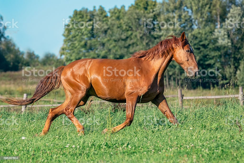 Red horse on grass field Lizenzfreies stock-foto