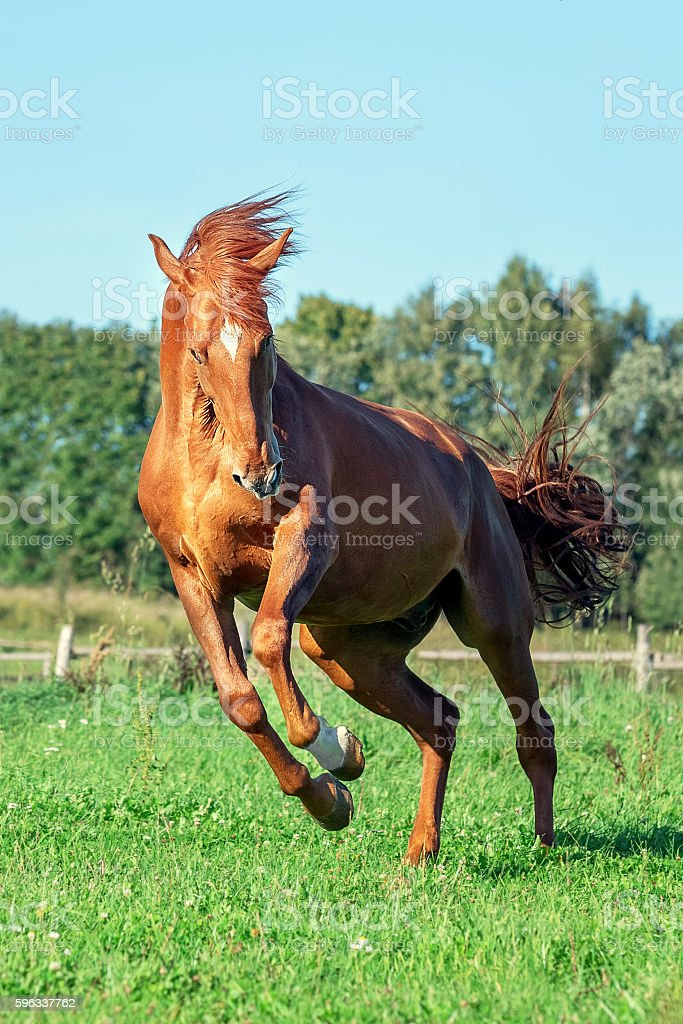 Red horse on grass field royalty-free stock photo