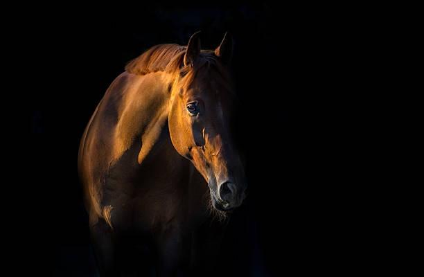 red horse portrait - 種馬 個照片及圖片檔