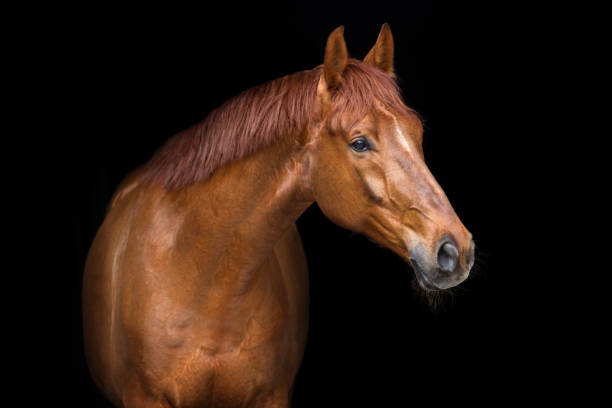 Red horse portrait picture id908981512?b=1&k=6&m=908981512&s=612x612&w=0&h=lrkxkrpbk03ksmnwgoy3b2 hqitfgn3qtd9occbne94=