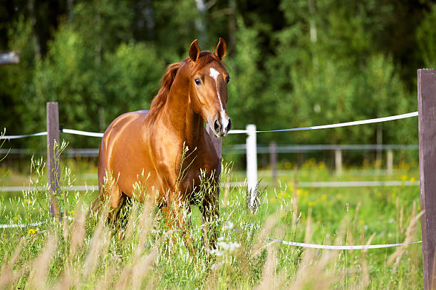 red horse runs trot on the nature background - horse stock pictures, royalty-free photos & images