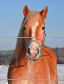 Bay arabian race saddle horse portrait in nature green bushes background