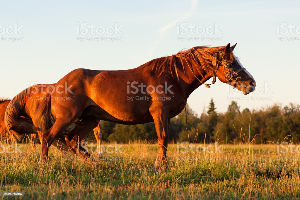 Red horses at golden hour on a pasture royalty-free stock photo
