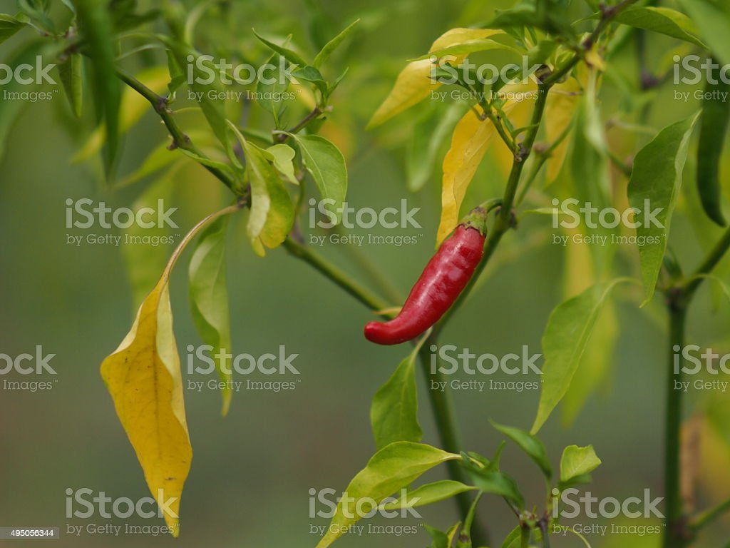 red hot pepper stock photo