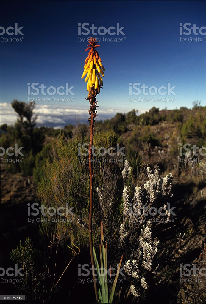 Red Hot Poker flower on the path to Mt. Kilimanjaro stock photo