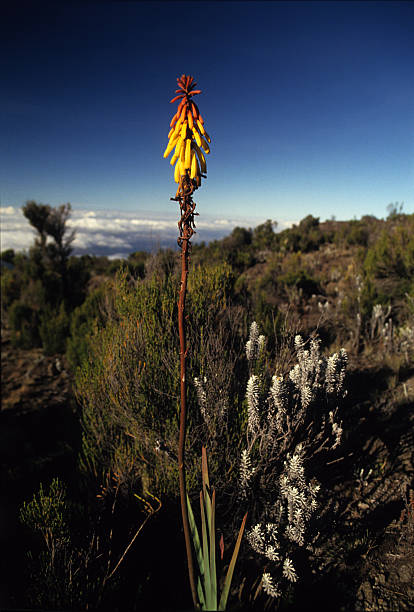 red hot poker flower on the path to mt. kilimanjaro - torch lily stockfoto's en -beelden