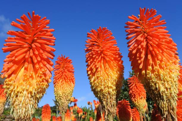 rode hot poker bloem plant - vurige gekleurde kniphofia - torch lily stockfoto's en -beelden